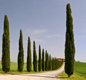 ItalianCypress